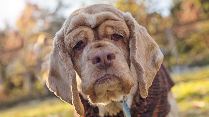 old dog seizures, old dog syndrome, senior dog, old pug, dog food for older dogs, old chihuahua, dog years for small dogs, dog age, old dog shaking, old dog health, aging dogs, why do dogs age so fast, domestic dog, signs of aging in dogs, elderly dog, signs of old age in dogs, how to care for a senior dog, old age in dogs, aging pets
